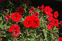 Surfinia® Deep Red Petunia (Petunia 'Surfinia Deep Red') at Plants Unlimited