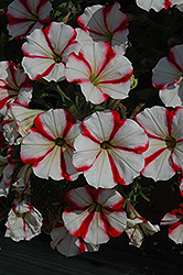 Crazytunia® Cherry Cheesecake Petunia (Petunia 'Crazytunia Cherry Cheesecake') at Plants Unlimited