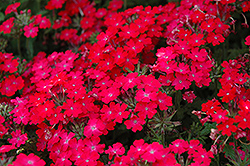 Superbena® Royale Iced Cherry Verbena (Verbena 'Superbena Royale Iced Cherry') at Plants Unlimited