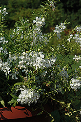 Carita Cascade White Angelonia (Angelonia angustifolia 'Carita Cascade White') at Plants Unlimited