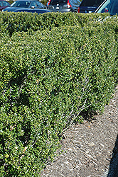 Steeds Japanese Holly (Ilex crenata 'Steeds') at Plants Unlimited