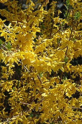 Lynwood Gold Forsythia (Forsythia x intermedia 'Lynwood Gold') at Plants Unlimited