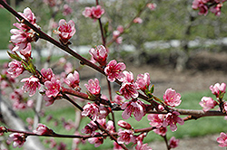Reliance Peach (Prunus persica 'Reliance') at Plants Unlimited
