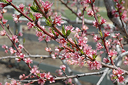 Redhaven Peach (Prunus persica 'Redhaven') at Plants Unlimited