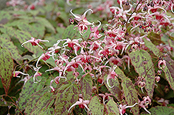 Pink Champagne Fairy Wings (Epimedium 'Pink Champagne') at Plants Unlimited