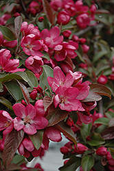 Centurion Flowering Crab (Malus 'Centurion') at Plants Unlimited