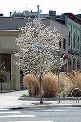 Autumn Brilliance Serviceberry (Amelanchier x grandiflora 'Autumn Brilliance (tree form)') at Plants Unlimited