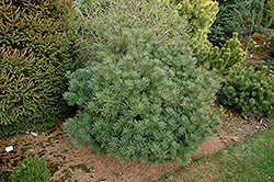 Minuta White Pine (Pinus strobus 'Minuta') at Plants Unlimited
