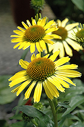 Cleopatra Coneflower (Echinacea 'Cleopatra') at Plants Unlimited
