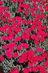 Frosty Fire Pinks (Dianthus 'Frosty Fire') at Plants Unlimited