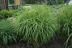 Porcupine Grass (Miscanthus sinensis 'Strictus') at Plants Unlimited