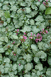 Beacon Silver Spotted Dead Nettle (Lamium maculatum 'Beacon Silver') at Plants Unlimited