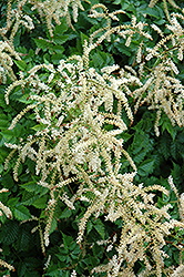 Misty Lace Goatsbeard (Aruncus 'Misty Lace') at Plants Unlimited