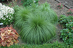 Prairie Dropseed (Sporobolus heterolepis) at Plants Unlimited