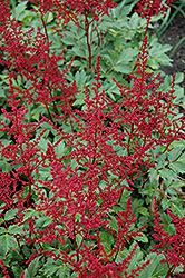 Red Sentinel Astilbe (Astilbe x arendsii 'Red Sentinel') at Plants Unlimited