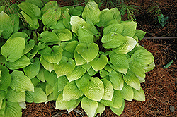 Fire Island Hosta (Hosta 'Fire Island') at Plants Unlimited