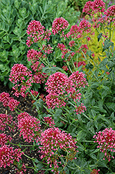 Red Valerian (Centranthus ruber 'Coccineus') at Plants Unlimited