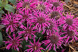 Balmy Purple Beebalm (Monarda didyma 'Balbalmurp') at Plants Unlimited