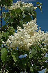 Ivory Silk Tree Lilac (tree form) (Syringa reticulata 'Ivory Silk (tree form)') at Plants Unlimited