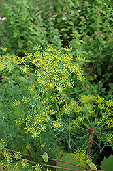 Dill (Anethum graveolens) at Plants Unlimited