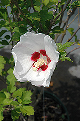 Red Heart Rose Of Sharon (Hibiscus syriacus 'Red Heart') at Plants Unlimited