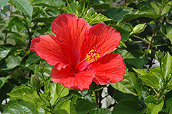 Red Hibiscus (Hibiscus rosa-sinensis 'Red') at Plants Unlimited