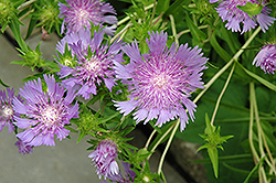 Stoke's Aster (Stokesia laevis) at Plants Unlimited