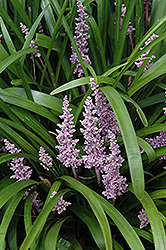 Lily Turf (Liriope muscari) at Plants Unlimited