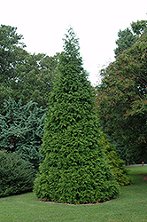 Green Giant Arborvitae (Thuja 'Green Giant') at Plants Unlimited