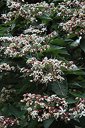 Harlequin Glorybower (Clerodendrum trichotomum) at Plants Unlimited