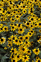Brown Eyed Susan (Rudbeckia triloba) at Plants Unlimited