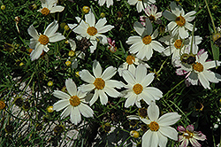 Cosmic Evolution Tickseed (Coreopsis 'Cosmic Evolution') at Plants Unlimited