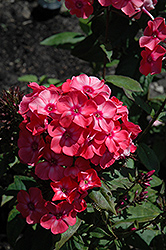 Glamour Girl Garden Phlox (Phlox paniculata 'Glamour Girl') at Plants Unlimited