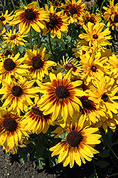 Denver Daisy Coneflower (Rudbeckia hirta 'Denver Daisy') at Plants Unlimited