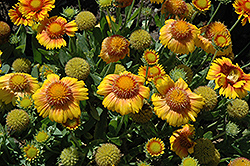 Arizona Apricot Blanket Flower (Gaillardia x grandiflora 'Arizona Apricot') at Plants Unlimited