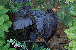 Royal Hawaiian® Black Coral Elephant Ear (Colocasia esculenta 'Black Coral') at Plants Unlimited