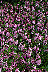 Serenita Pink Angelonia (Angelonia angustifolia 'Serenita Pink') at Plants Unlimited