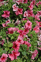 Pretty Grand Summer Petunia (Petunia 'Pretty Grand Summer') at Plants Unlimited
