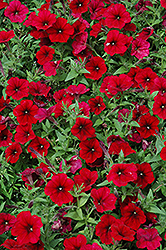 Easy Wave® Red Velour Petunia (Petunia 'Easy Wave Pink Passion') at Plants Unlimited