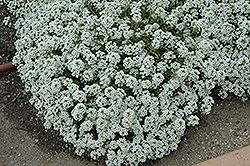 Clear Crystal White Sweet Alyssum (Lobularia maritima 'Clear Crystal White') at Plants Unlimited