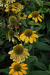 Sombrero® Lemon Yellow Coneflower (Echinacea 'Balsomemy') at Plants Unlimited
