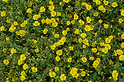 Magic Carpet Yellow Mecardonia (Mecardonia 'Magic Carpet Yellow') at Plants Unlimited