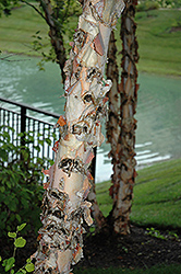 River Birch (Betula nigra) at Plants Unlimited