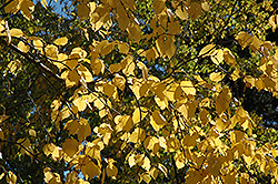 Paper Birch (Betula papyrifera) at Plants Unlimited