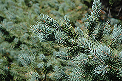 White Spruce (Picea glauca) at Plants Unlimited