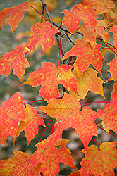 Sugar Maple (Acer saccharum) at Plants Unlimited