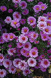 Purple Dome Aster (Aster novae-angliae 'Purple Dome') at Plants Unlimited