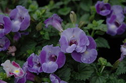 Blue Moon Torenia (Torenia 'Blue Moon') at Plants Unlimited