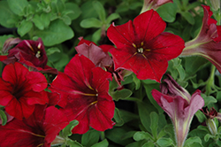 Crazytunia® Mandeville Petunia (Petunia 'Crazytunia Mandeville') at Plants Unlimited