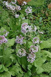 Candelabra Primrose (Primula beesiana) at Plants Unlimited